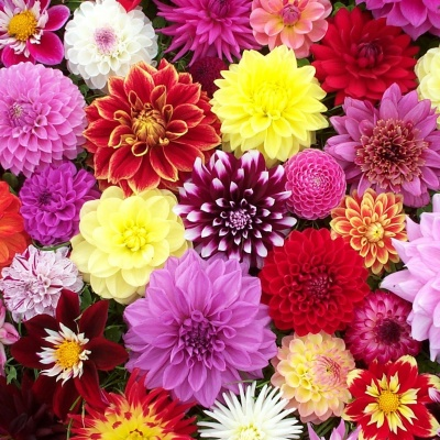 dahlia-wedding-flowers