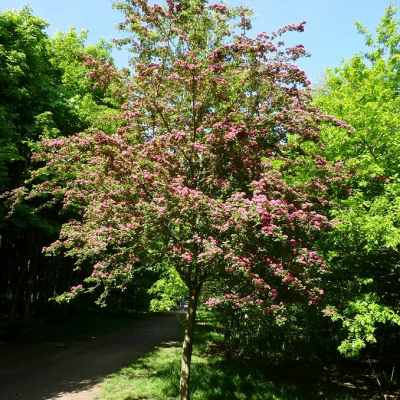 Red Hawthorn Single Tree (1)