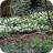 Wood Anemones In A Drift